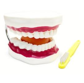 대형 치아모형